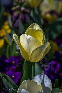 Went to Lewis Ginter Botanical Garden on beautiful Sunday afternoon; despite big event at Maymont competing with garden, it was very busy; surprised to finds a lot of daffodils and jonquils still in bloom, as well as many varieties of tulips; tulips in Visitor Center courtyard, which appears to be part of Four Seasons Garden
