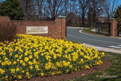 Lewis Ginter Botanical Garden in early April; spring later this year than last - some daffodils past prime, some haven't bloomed yet, most tulips haven't bloomed; daffodils outside Lakeside Ave entrance