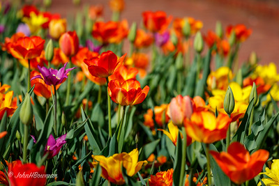 Lewis Ginter Botanical Garden had gorgeous spring flowers in full bloom, great place to spend 2nd beautiful spring day in a row, after Jamestown yesterday; tulips in particular were quite showy, but still a lot of nice daffodils - also redbuds, dogwoods, etc; orange & yellow tulips dominated in plantings of Sunken Garden & flanking areas in front of Robbiins Library & the Conservatory