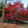 Japanese Maple - Near Arched Footbridge