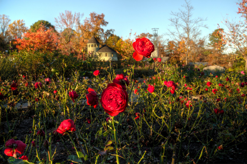 Red Roses at Lewis Ginter
