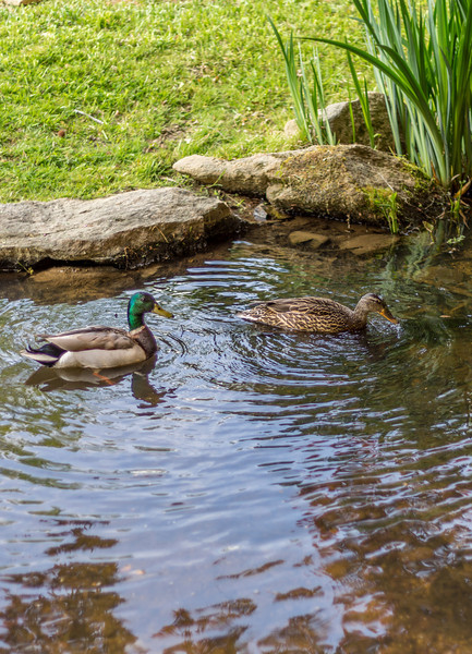 Malard Ducks in the Japanese Garden