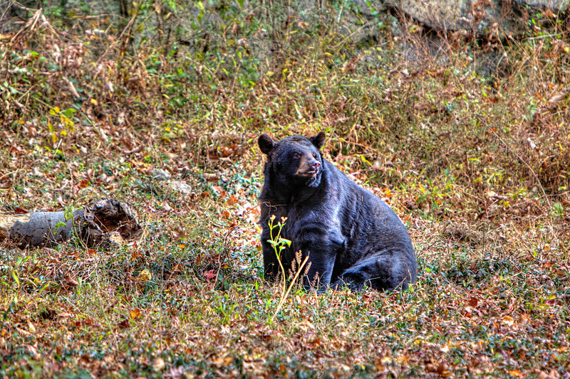 Maymont Bear