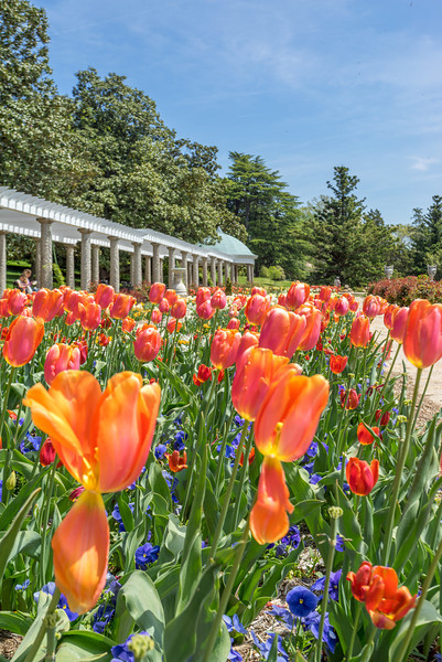Spring Tulips in the Italian Garden Facing Dome