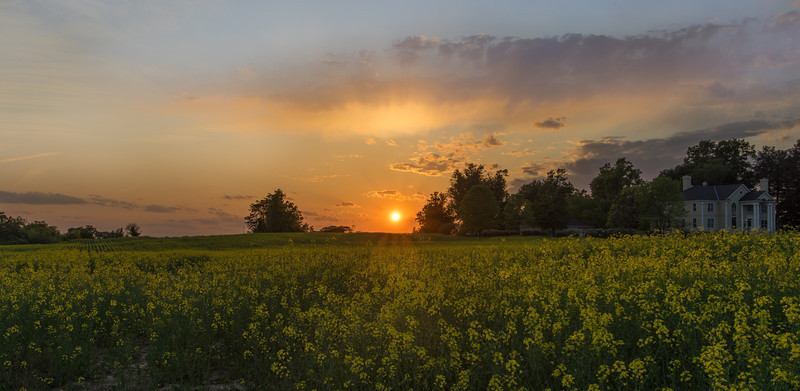 Sunset over the Canola Flowers