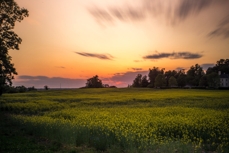 Twilight over the Yellow Flowers