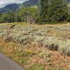 Video of mature Elk taken from bike path …. with Point and Shoot.
