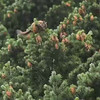Nice VID of squirrel gathering and storing pine cones.