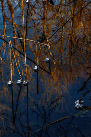 Reeds with Ice