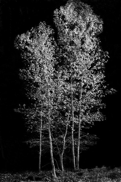 Quaking Aspen Trees - Yosemite, NP