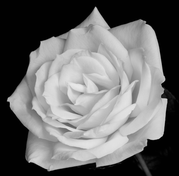 White Rose Detail