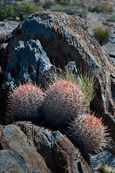 Cotton Top Barrel  Cactus 1- Saline Valley, California