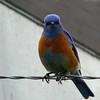 Wirebird