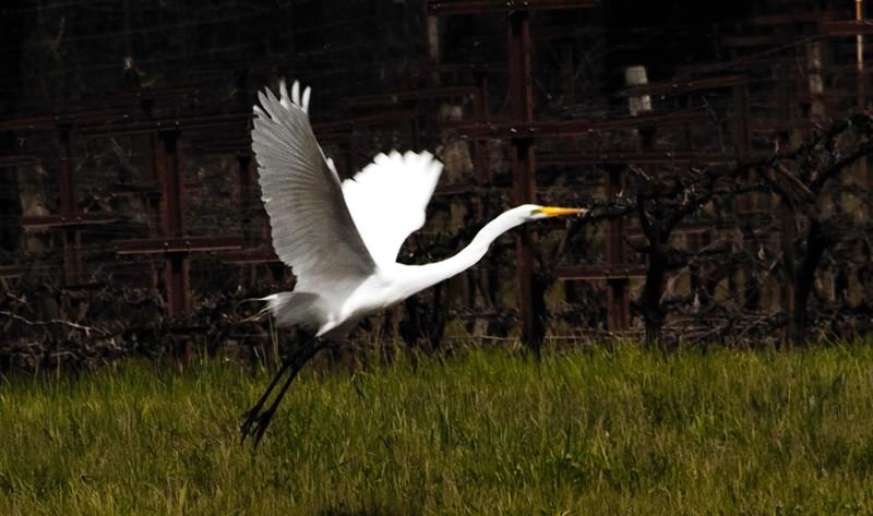 Egret (#114)
