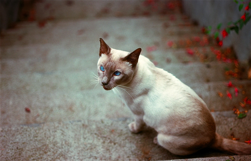 Siamese on Stairs (#125)