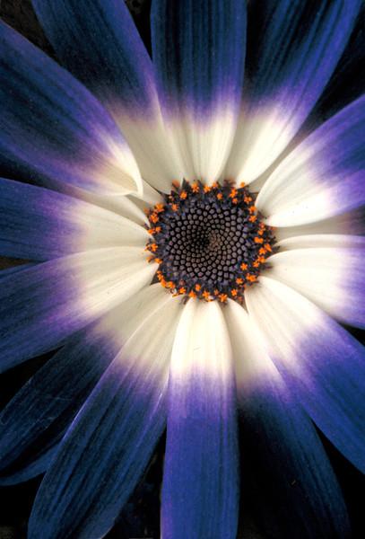 Flower Burst (#117-1)