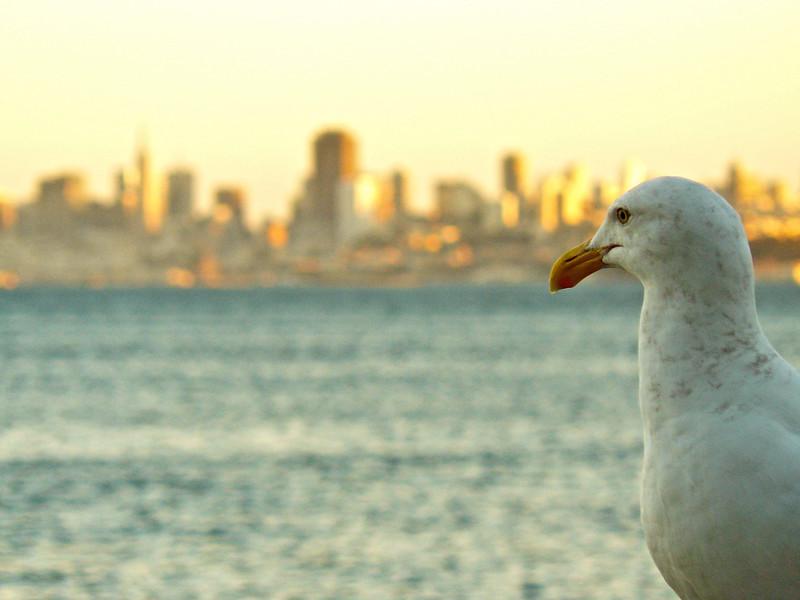 Sausalito Gull (#134)