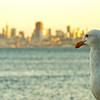 Pondering Gull