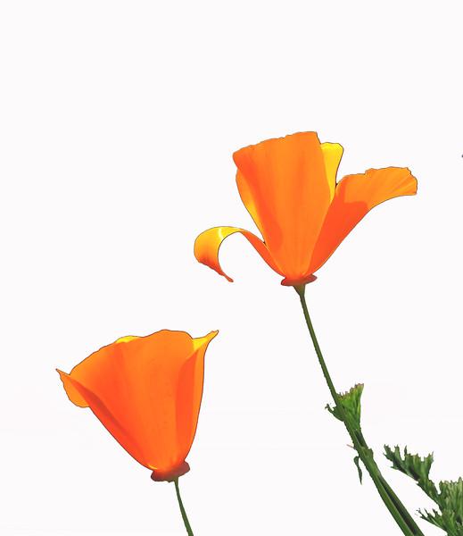 Poppies (# 131.1)