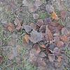 Frozen Leaves (# 120.1)