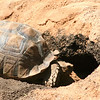 Tortoise going back inside... He has central air in there...