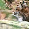 Lynx pic #1.. H