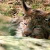 Lynx pic #2