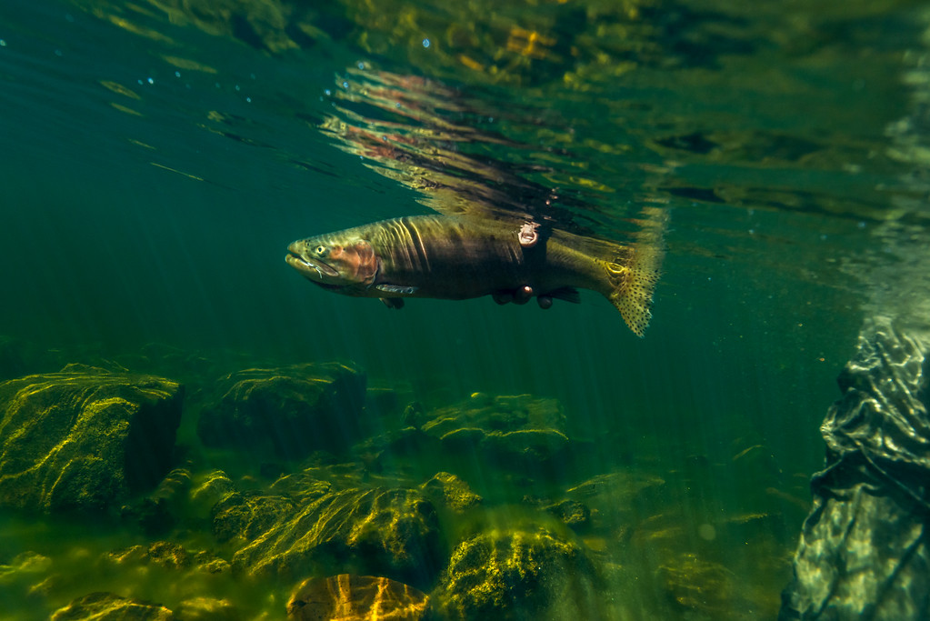 underwater release lahontan cutthroat trout
