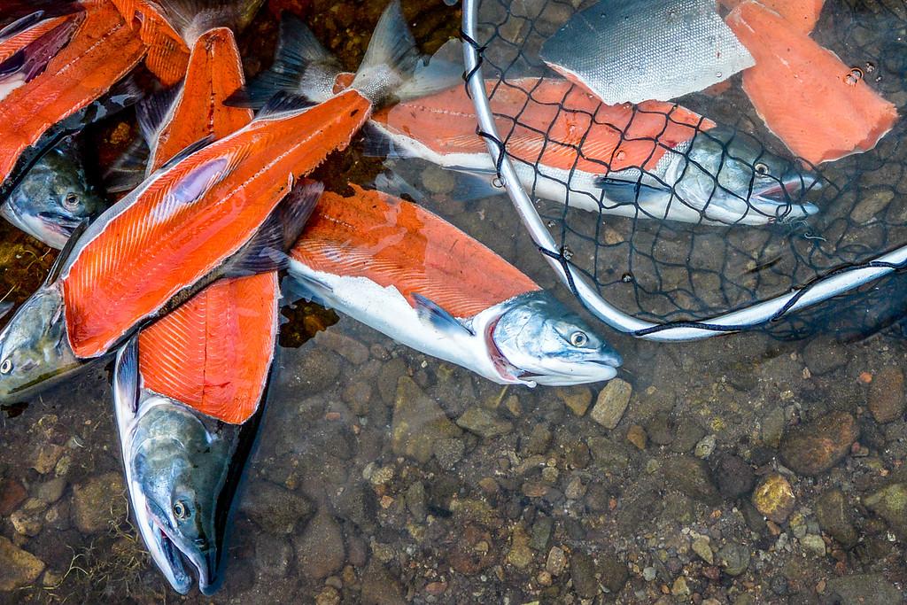 filleted sockeye salmon carcasses