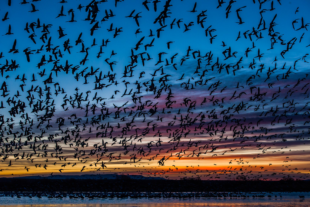 snow geese sunrise fly out