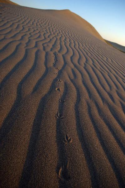 Tracks in sand, Bruneau Sand Dunes, Idaho.