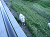 goats in leavenworth