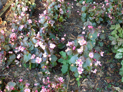 Begonias on the south side of St. Nicholas.