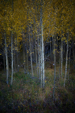 Fall foliage of McCullough Gulch, Breckenridge, CO.