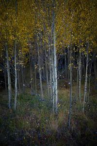 Fall foliage of McCullough Gulch, Breckenridge, CO.