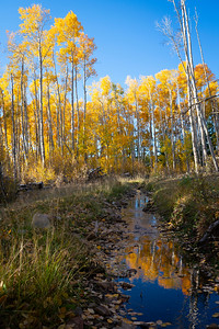 A rancher's irrigation ditch leads into a tall stand of aspens, this first week of October, Como Colorado.