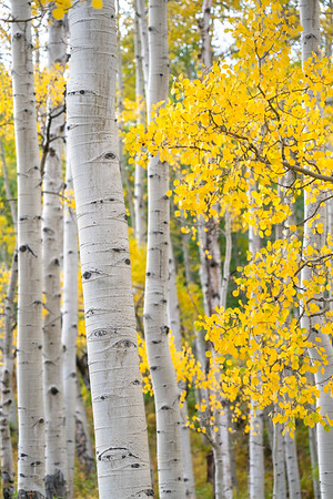 A beautiful stand of aspen in late September, Gothic, CO.