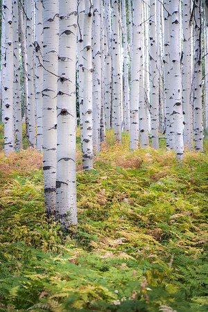 Late September off Kebler Pass in Crested Butte, CO.  A beautiful fern forest amidst perfect aspen trees.