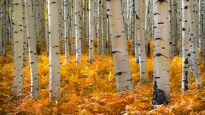 Aspens and ferns, my two favorite things.  Crested Butte, CO