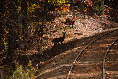 Deer on the side of the tracks as seen from the train.