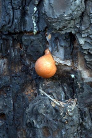 Blob on a pine tree