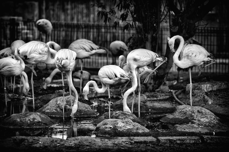 Pink Flamingos / United Arab Emirates