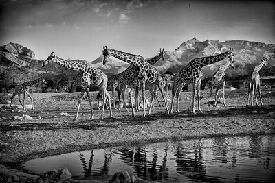 Giraffes / United Arab Emirates