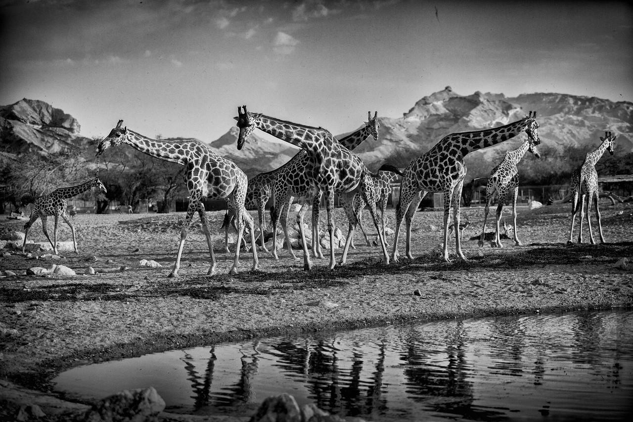 Giraffes / United Arab Emirates