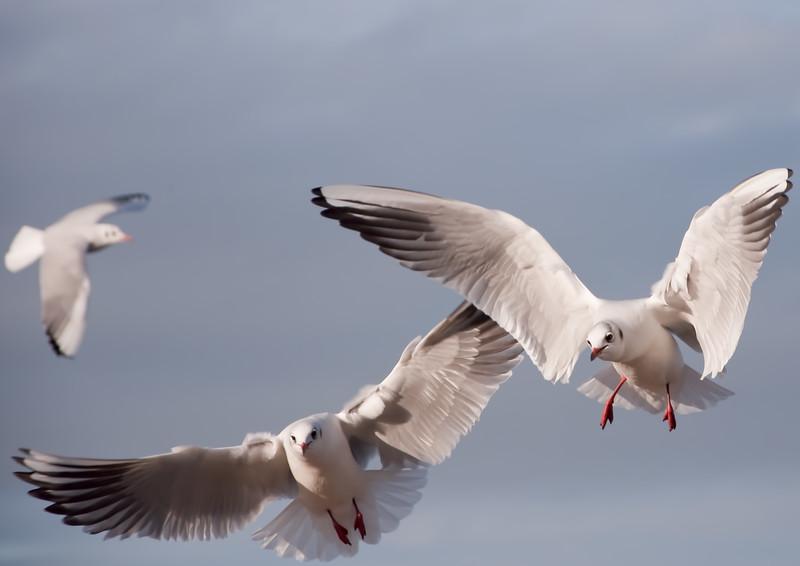Gulls in Flight