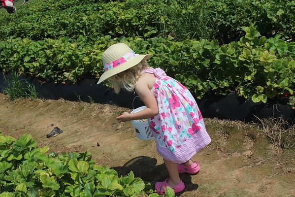 2016 Strawberry Picking (5/22)