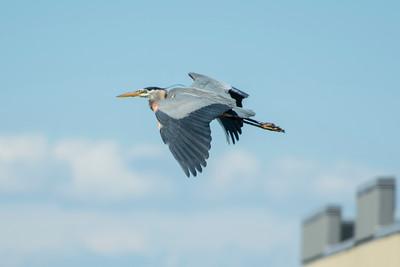 Blue Heron May 2020_021