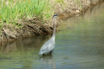 Blue Heron May 2020_014