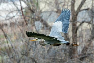 Blue Heron May 2020_013