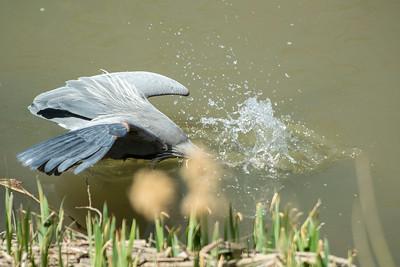 Blue Heron May 2020_002